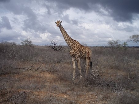 Giraffe, South Africa, Wild, Wildlife, Nature, Park