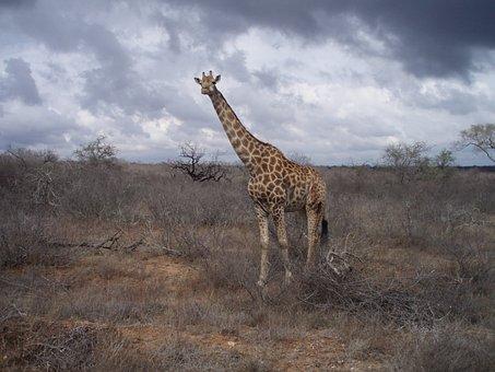 Giraffe, South Africa, Wild, Wildlife, Nature, Park