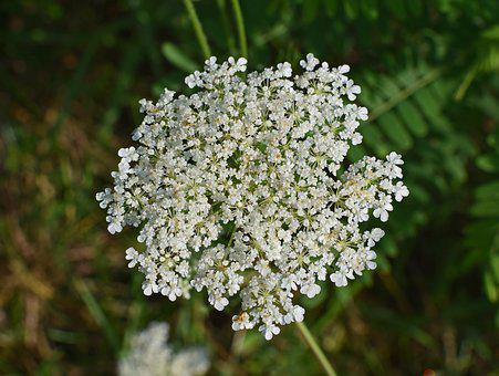 Queen Anne's Lace With Dewdrops, Wildflower Flower