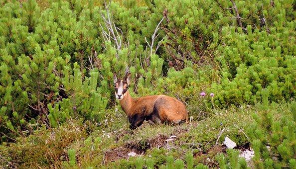 Chamois, Mountain, Nature, Animal, Green, Wild