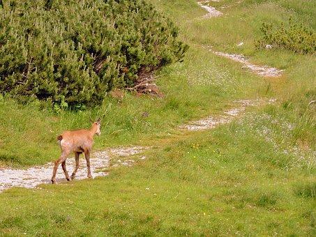Chamois, Trail, Mountain, Green, Nature, Animal, Walk