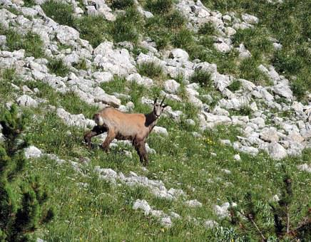 Chamois, Mountain, Green, Nature, Animal, Horn, Old