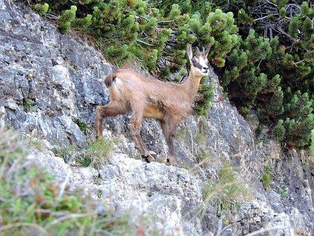 Chamois, Mountain, Rock, Steep, Green, Nature, Animal