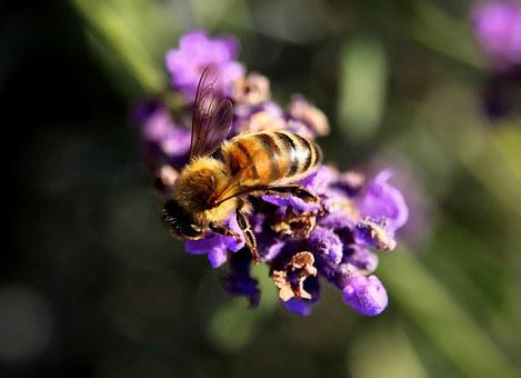 Bee, Lavender, Pollen, Insect, Nature, Yellow, Animal