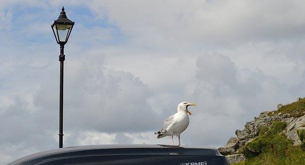 Sea Gull, Bird Song, Cornwall, Lamp Post, St Ives