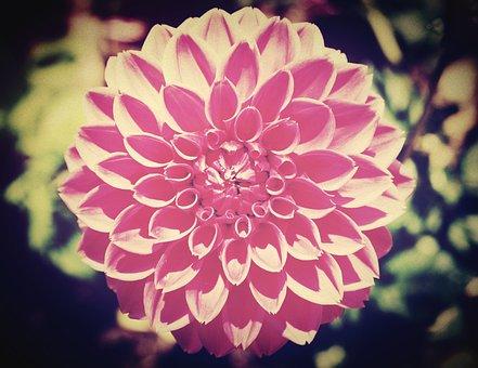 Flower, Blur, Cosmos, Outdoor, Sunlight, Shine