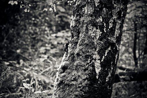 Tree, Birch, Nature, Autumn, Tribe, Bark, Forest, Log