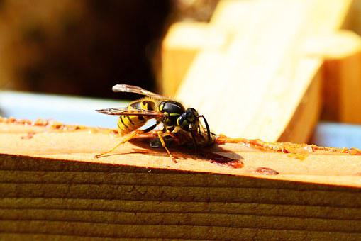 Wasp, Insect, Yellow, Black, Eating Honey Bee, Close-up