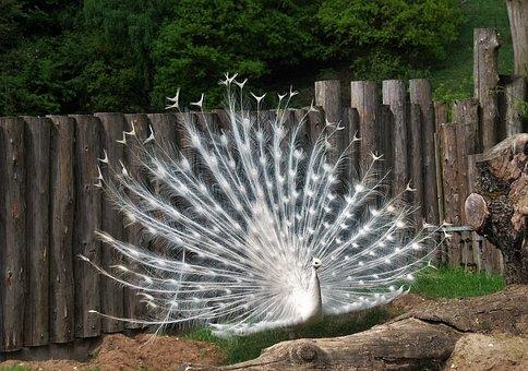 White Peacocks-hahn, No Albino, Pavo Cristatus