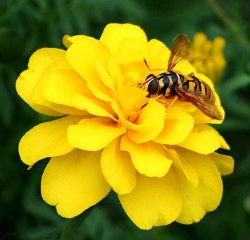 Hornet, Wasp, Bee, Flower, Yellow, Marigold, Stinger