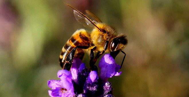 Bee, Lavender, Insect, Nature, Yellow, Animal, Wing