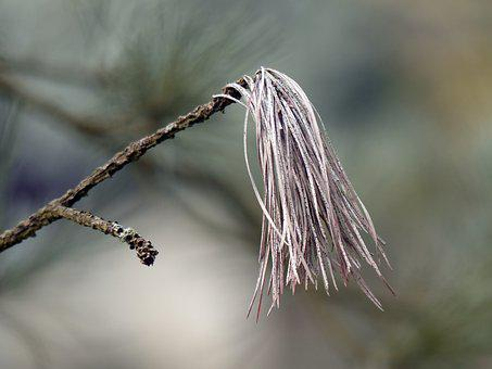 Branch, Pine, Needles, Conifer, Pointed, Nature, Forest