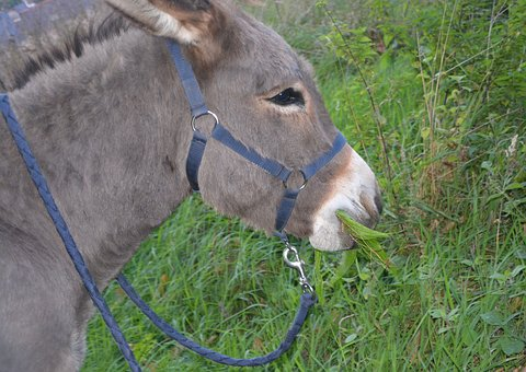 Donkey, Head, Profile, Halter, Equine, Eat, Grass