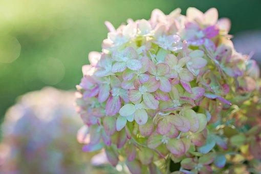 Hydrangeas, Pink, Green, Floral, Nature, Summer, Garden