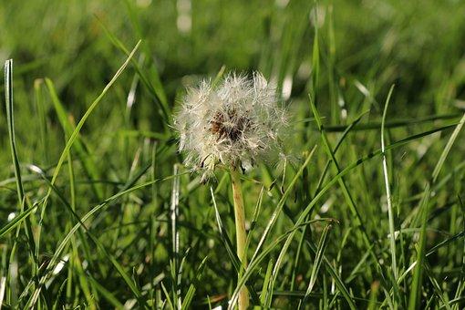 Dandelion, Flower, Close, Macro, Nature, Pollen