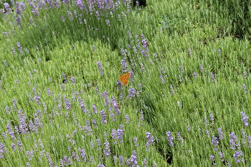 Lavender, Butterfly, Nature, Flower, Plant, Field