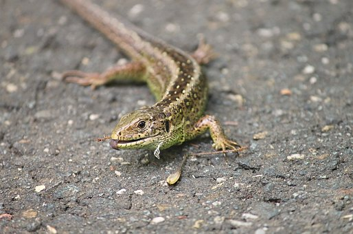Sand Lizard, Lizard, Lacerta Agilis, Nature, Tongue