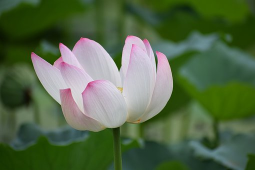 Lotus, Flower, Nature, Plant, Water, Bloom, Blossom