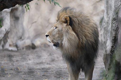 Cat, Lion, Roar, Male, Predator, Animal, Big Cat, Mane