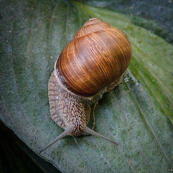 Snail, Shell, Mollusk, Close, Animal, Nature, Slowly