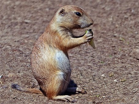 Prairie Dog, Fauna, Animal, Nature, Animal World, Zoo