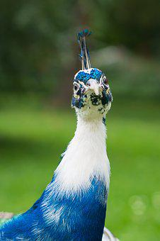Peacock, Bird, Nature, Proud, Zoo, Colored