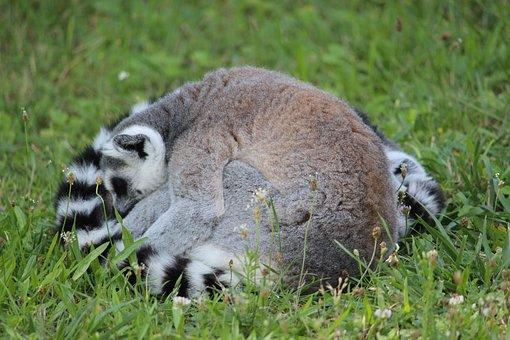 Ring-tailed Lemur, Katta, Lemus, Rest, Animal, Sleep