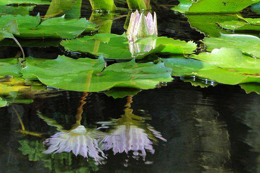 Nymphaea Alba, Lotus, Summer, Aquatic Plants, Water