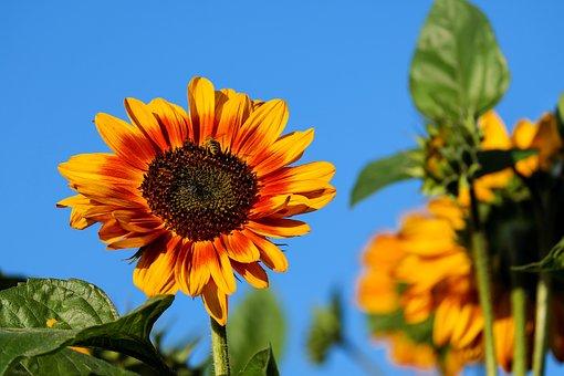 Sun Flower, Flower, Flowers, Evening Sun