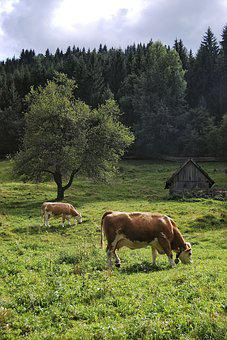 Cow, Alm, Forest, Cows, Nature, Pasture, Animal, Cattle