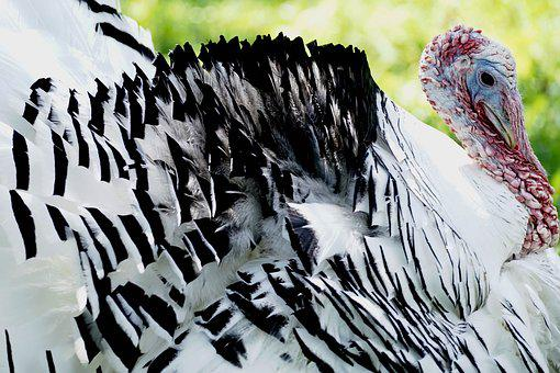 Turkey, Bird, Animal World, Animal, Plumage