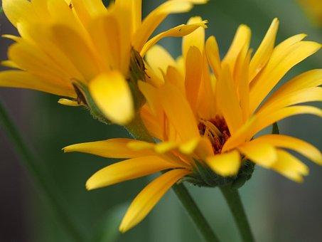 Flower, Yellow, Yellow Flower, Blossom, Bloom, Close