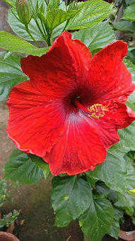Hibiscus, Flower, Tropical, Plant, Summer, Blossom