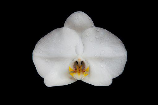 Orchid, Flower, Blossom, Bloom, Nature, Plant, Macro