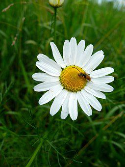 Chamomile, Beetle, Flower, Meadow, Insect