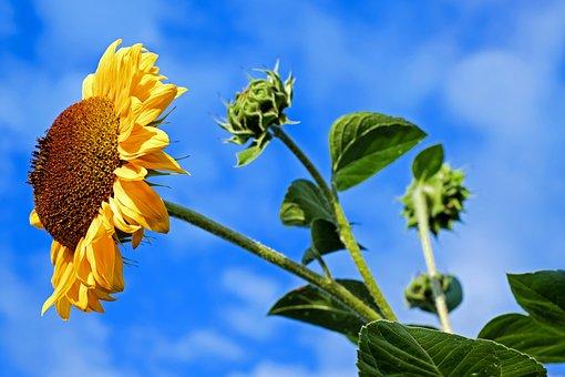 Sun Flower, Flower, Flowers, Colorful, Evening Sun