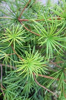 Tree, Needles, Conifer, Nature, Macro, Green, Branch