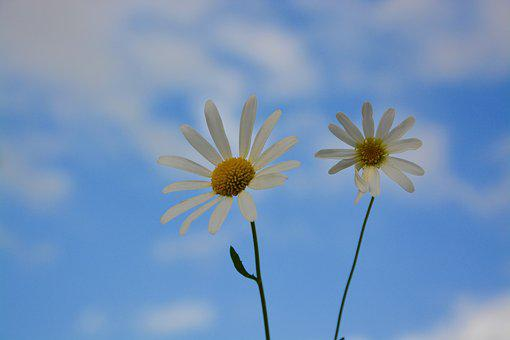 Flowers, Daisies, Nature, Garden, White Flowers