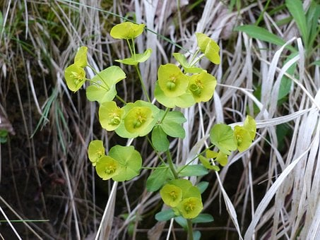 Hellebore, Flower, Yellow