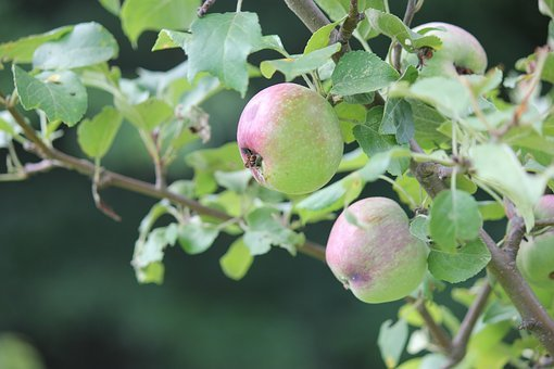 Apple, Tree, Growing, Garden, Harvest, Fruit, Orchard