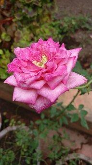 Rose, Garden, Bloom, Flower, Summer, Nature, Pink