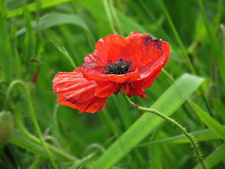 Poppy, Field, Poppies, Flowers, Red, Meadow