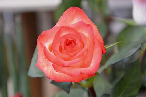 Flower, Pink, Color Pink, Thorny, Rosebush, Nature