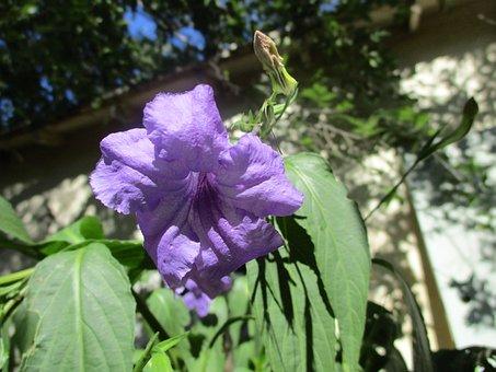 Mexican Lilac, Flower, Garden, Purple, Summer, Blossom