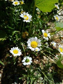 Daisies, Flowers, Yellow, Bright, Nature, Daisy, Spring