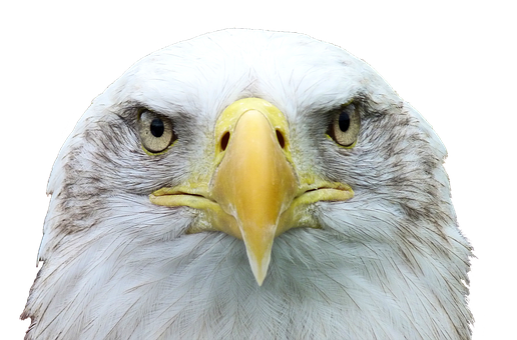 Adler, White Tailed Eagle, Bald Eagle, Raptor