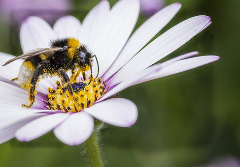 Bee, White Tail, Insect, Wildlife, Nature, Bumblebee