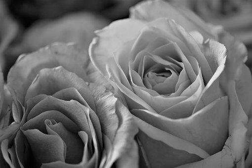 Roses, Flowers, Bloom, Flower, Plant, Black - And-white