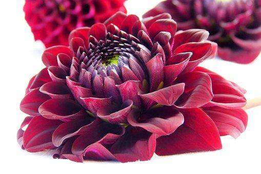 Dahlia, Blossom, Bloom, Red, Wine Red, Close, Garden