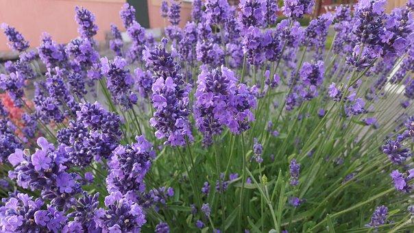 Purple, Blue, Lavender, Lavender Flowers, Flowers